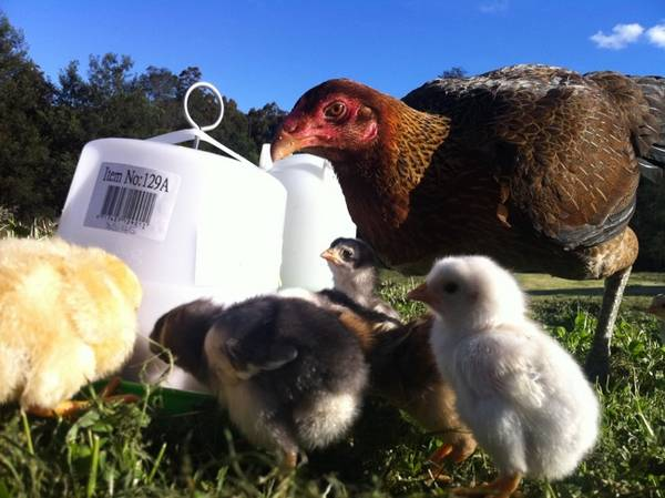 Aussie Pullet with adopted chicks