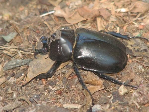 rino_beetle