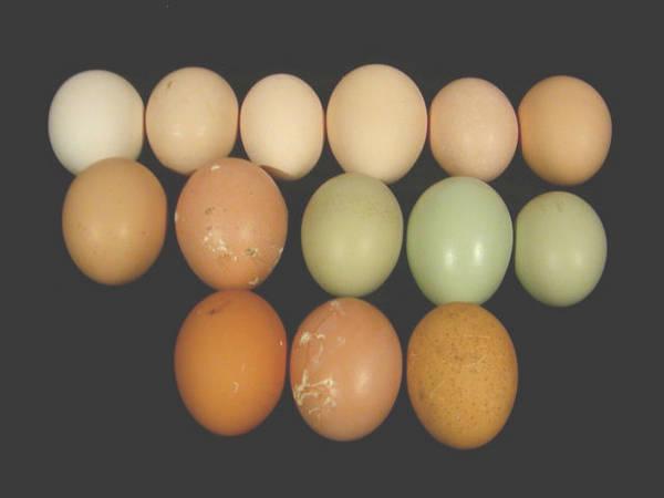infos eggs