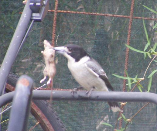 Queensland Butcher Bird swooped down at a pen full chics and mother come up