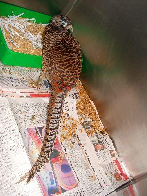 Pheasant take 2
