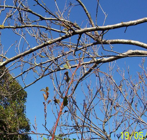 Plum tree defoliated