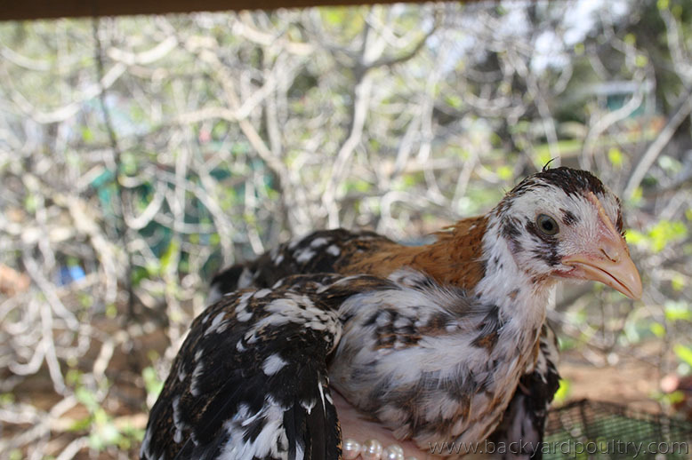 red_ancona_pullet_front