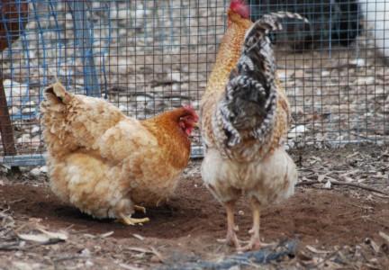 Rhodebar Hen