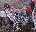 ChickenSaddleBellaRoo_7_.jpg