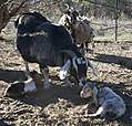 birthing_goat9.jpg