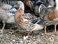 elizabeth_duck_2013_bred.JPG