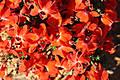 orange_leschenaultia.jpg