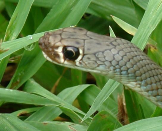 whip snake?