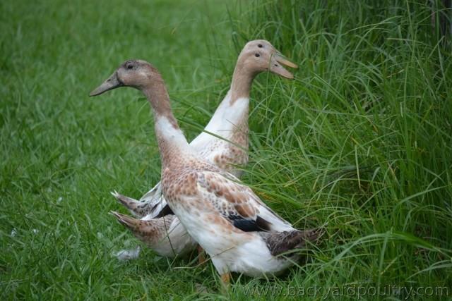 wingingit_ducks