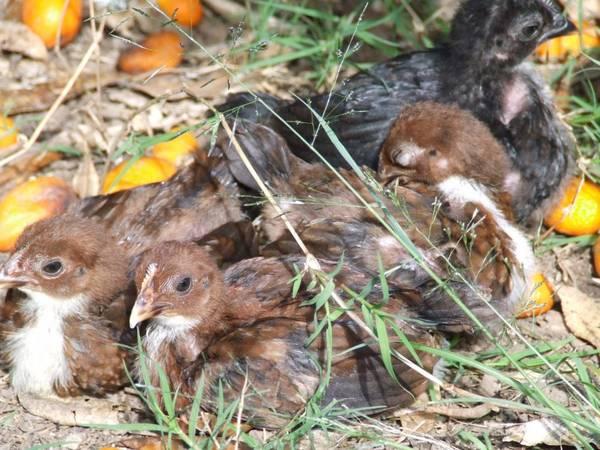 pit bantam chicks