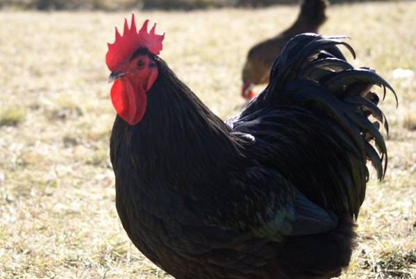 Australorp Cockeral (?)