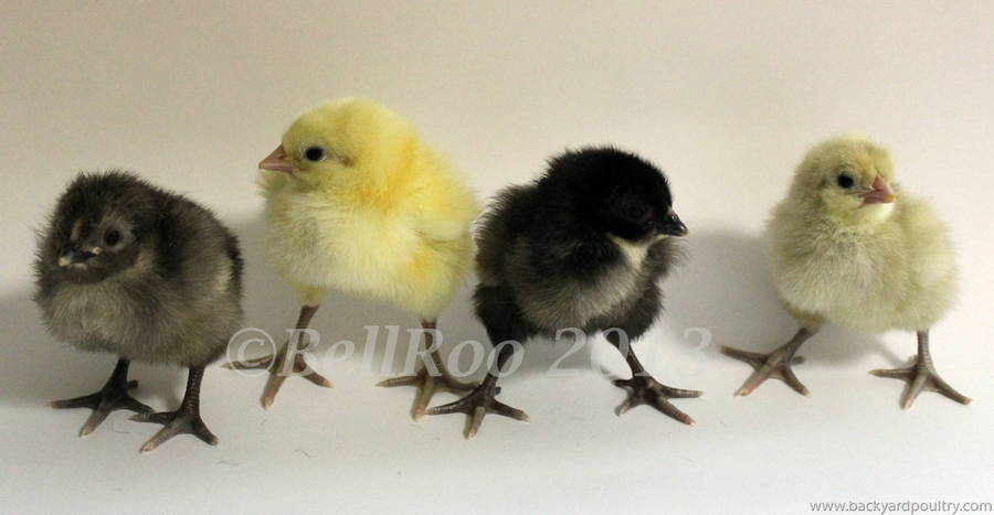 Australorp Chicks