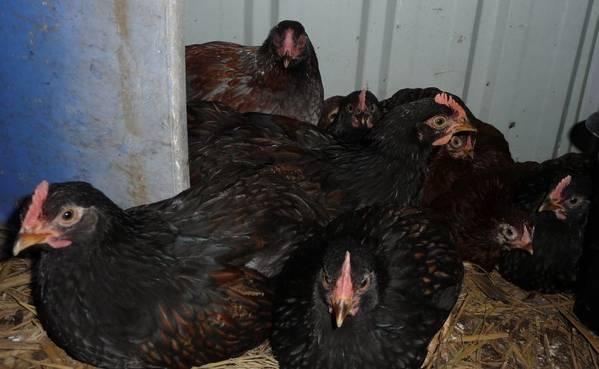 Barnevelder chicks 2 months old
