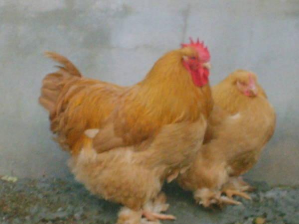Cochin pair