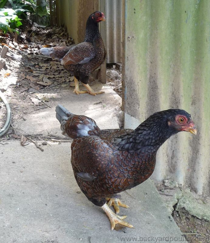 Blue Indian Game bantam pullets