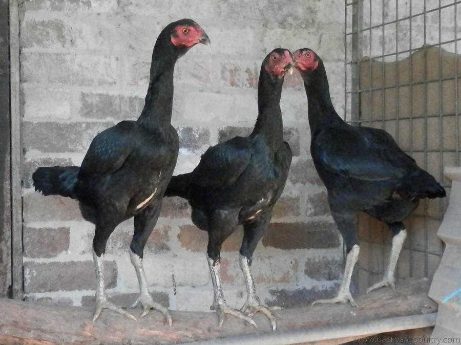 Malay Hens