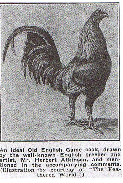 An Ideal Game Cock drawn by renown artist and OEG cocker Herbert Atkinson.