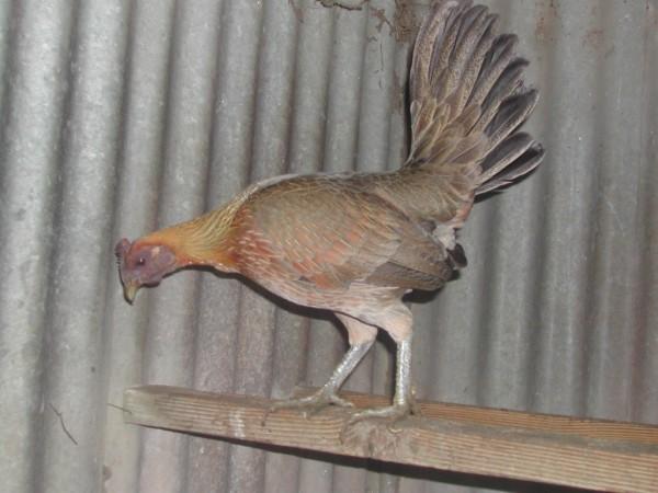 Ginger Hen
