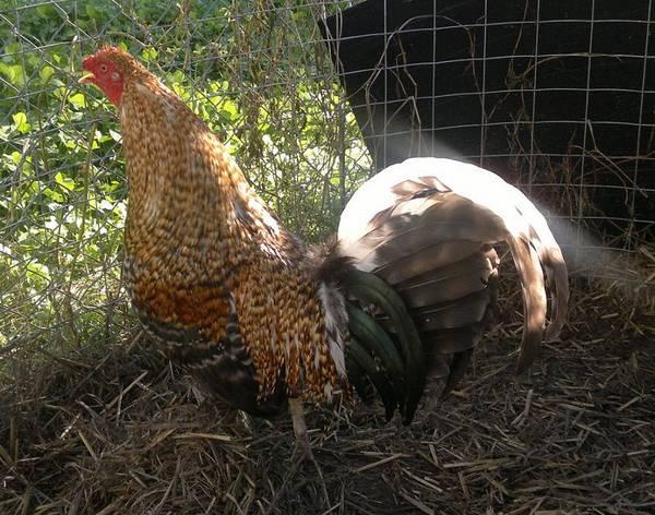creole cock