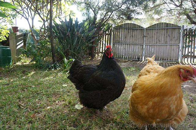 Australorp and buff orpington