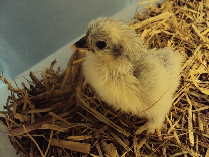 My very first Lavender Pekin hatched!