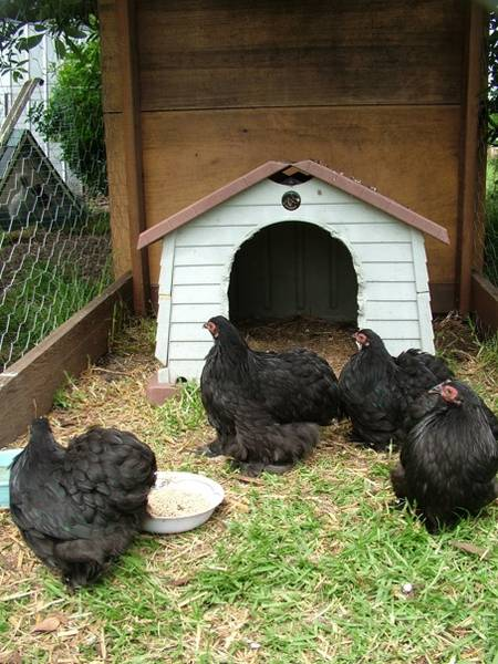 New black Pekin pullets
