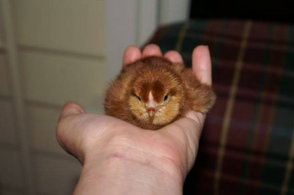 Hatched today - RIR Chick