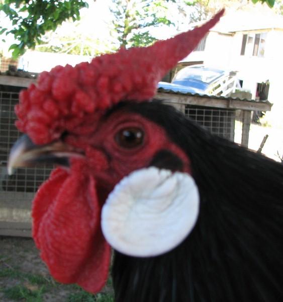 Black Rosecomb cockerel