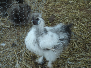 ? grey silkie cockerel patch work blue and white but not splash ?