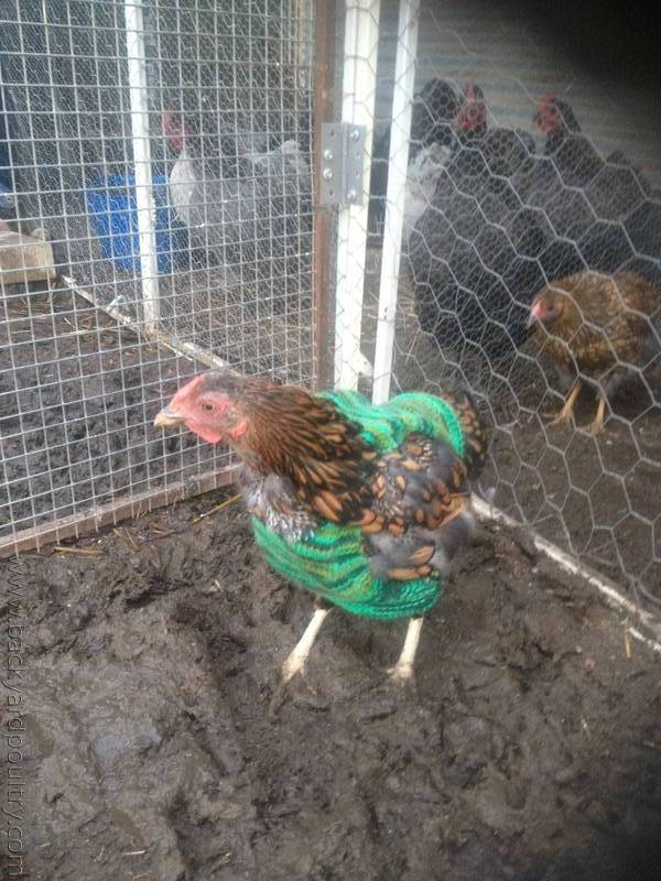 Chook in jumper