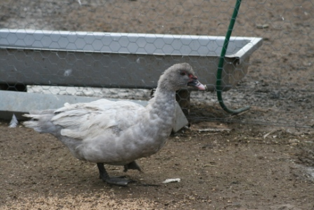 Muscovy Lavender Duck
