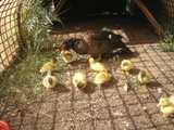 bronze  muscovy & ducklings