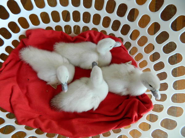 White hatched Muscovy ducklings