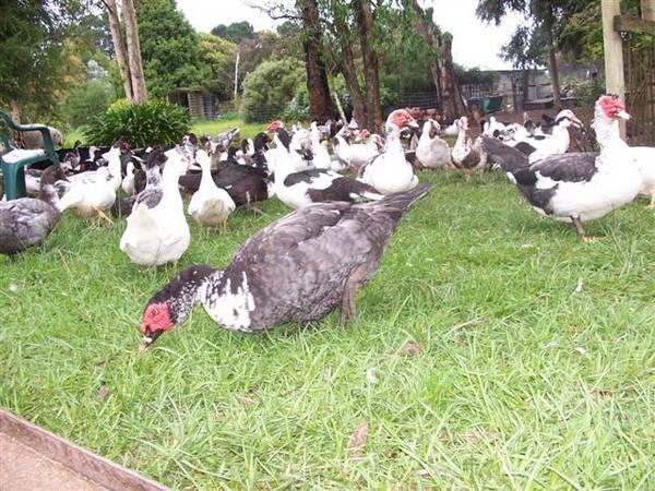 Shrimani Farm Muscovy