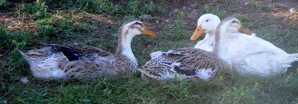 Large Silver Appleyard Ducks and Pekin Duck