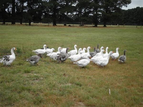 Sebastopol X Geese