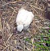 chick_110.jpg