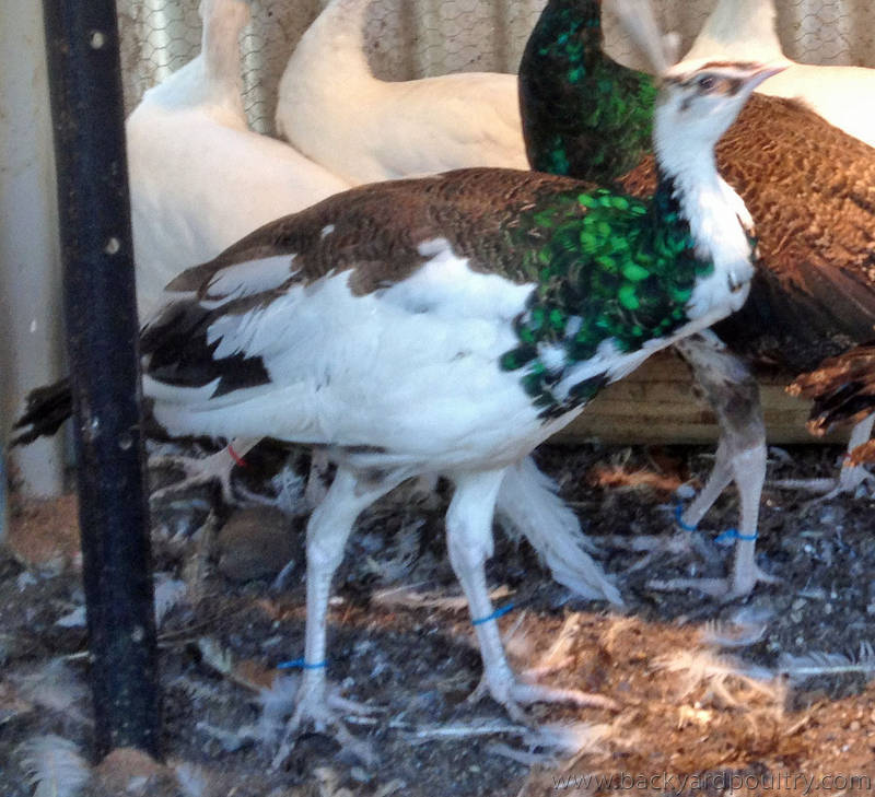 Some of our pied peacocks for sale, see sale link