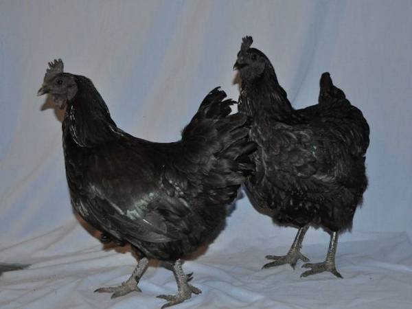 Black chooks