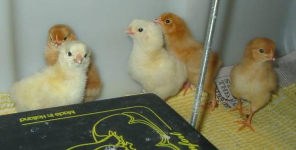rir light sussex crossed chicks