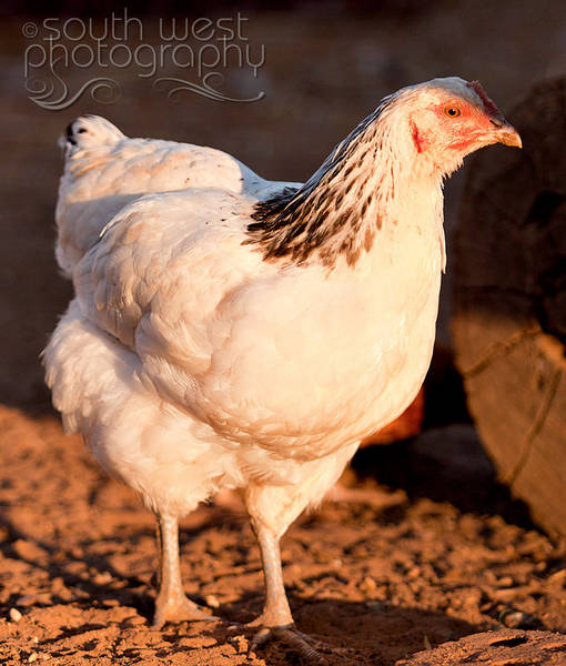 Light Sussex X Australorpe pullet