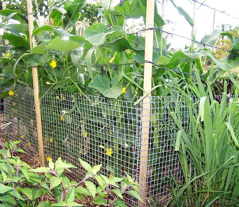 Sweetcorn & Burpless Cucumber