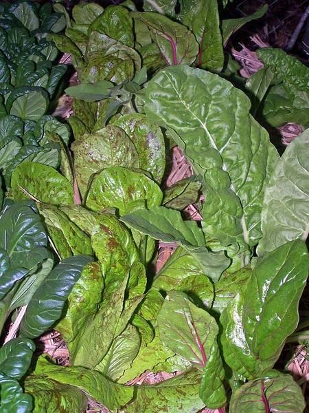 Lettuce - Freckles