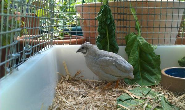 adult silver king quail