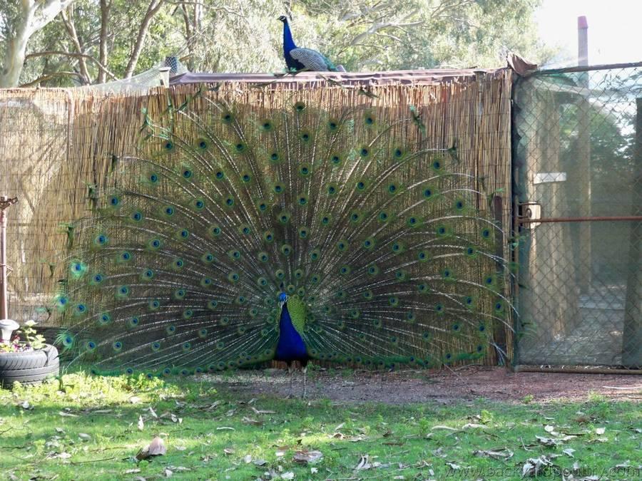 peacock31