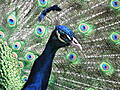 800px-Indian_Blue_Peacock_s_head.jpg