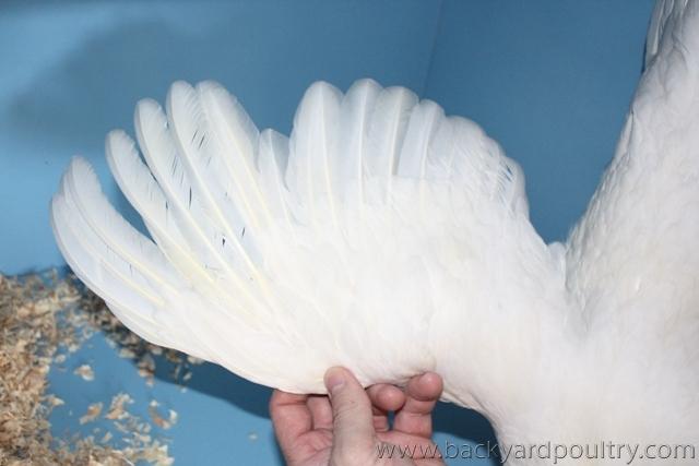 Leghorn Pullet Standard white