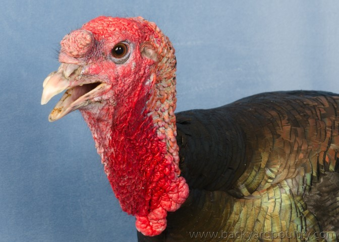 Champion_Turkey_Bronze_male_A_Smith_1_of_1_-2