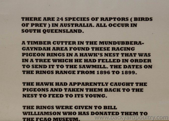 raptor_pigeon_rings_1_of_1_